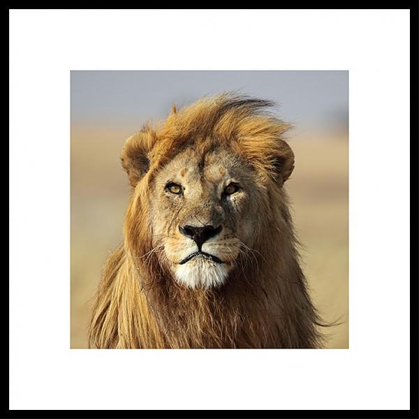 Gerahmtes Bild - Lion - mit Alurahmen C2